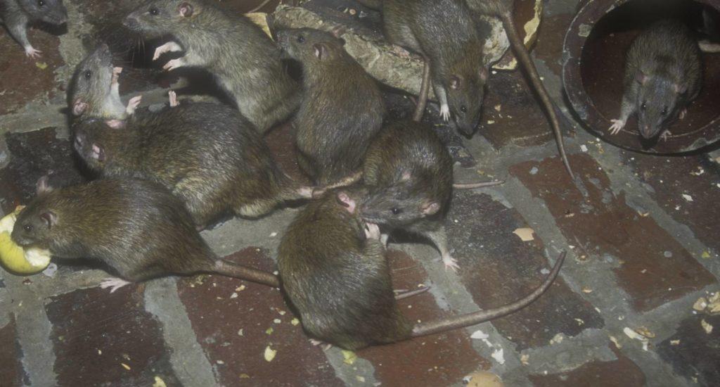 уничтожение крыс в Перми